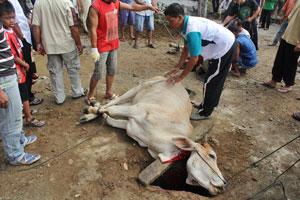 Seekor sapi tergeletak setelah disembelih untuk dijadikan hewan kurban di Masjid Al Ihsan Tj Gadang.