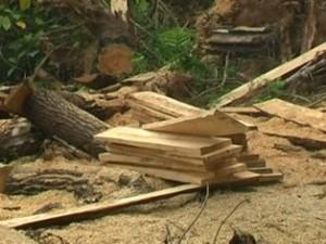 Perambahan hutan pinus di Taram.