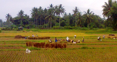 Sawah di Kota Payakumbuh
