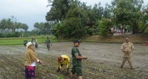 Sejumlah anggota TNI dan kelompok tani bersama Walikota Riza Falepi tanam padi di Kelurahan Padang Datar.