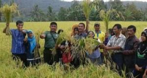 Babinsa Koramil 02/Lembang Jaya Kodim 0309/Solok Dampingi Panen Raya di Batu Banyak