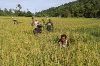 Babinsa Koramil 03/IV Jurai Kodim 0311/Pessel Bantu Kelompok Tani Panen Padi Di Nagari Taratak Tengah Lumpo Pesisir Selatan.