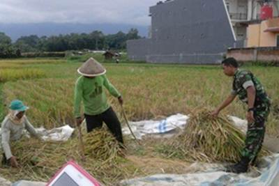 Panen padi seluas 1,2 hektar di Desa Bangun Sari Kecamatan Talawi, Rabu (25/05).